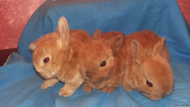 Декоративные кролики 20