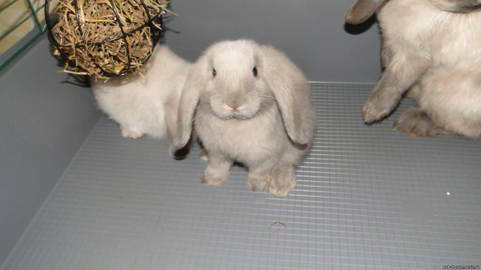 Кролика видео вислоухого правильно барана чем кормить